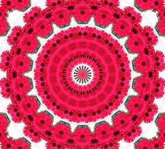 3 Gerberas Kaleidoscope (ladyinpurple) Tags: red daisies psp kaleidoscope gerbera kaleidoscopes creativephoto kaleidoscopesonly