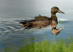 Canard noir / American black duck / Anas rubripes (Rock Arsenault) Tags: faune nginationalgeographicbyitalianpeople
