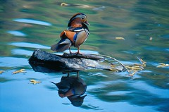 Mandarin duck (kini_b) Tags: wild italy reflection bird birds river wildlife fiume uccelli po mandarinduck birdwatching ysplix anatramandarina