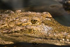 "Croc eye 2 • <a style=""font-size:0.8em;"" href=""http://www.flickr.com/photos/30765416@N06/4592353205/"" target=""_blank"">View on Flickr</a>"