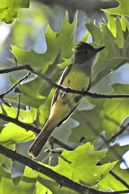 great crested flycatcher3