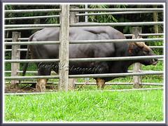 Malayan Gaur or Seladang (Bos Gaurus hubbacki)