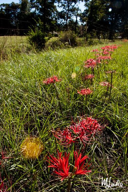 bloodlilies