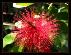 Honey bee on Calliandra emarginata (Red Dwarf Powderpuff)