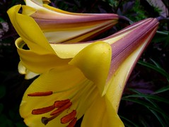 Lily (Ann Althouse) Tags: flowers flower yellow lily lilies