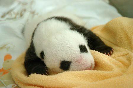 862110621 569f77cf63 Newly Born Pandas