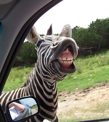Zebra Showing Teeth (SA_Steve) Tags: smile mouth funny texas teeth laugh zebra popular z1 yourfavs naturalbridgewildliferanch drivethrusafari top5v