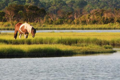 Wild Assateague Horse by t.sullivan photography