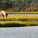 Wild Assateague Horse (Assateague Island)