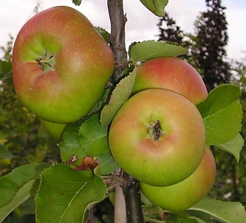 Appel (algemeen)