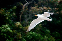 (noahg.) Tags: motion blur slr bird beach animal digital nikon zoom capecod seagull kitlens chatham af nikkor dslr zoomlens autofocus nikkorlens featheryfriday d80 noahbulgaria nikond80 nikkorkitlens afsnikkor18135mm13556ged impressedbeauty