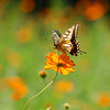 (H@Ru) Tags: flowers nature butterfly insect nikkor cosmos 2007 nikond200 gtaggroup animalkingdomelite
