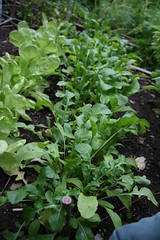 row of arugula