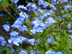 Forget-me-not, my favourites
