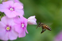 Beezzee [Mahabaleshwar] [Canon 1000D XS Canon 55 250 IS] (Mayur Kotlikar) Tags: india macro canon rebel flying is action bee maharashtra xs mahabaleshwar 55 250 familyvacation 1000d