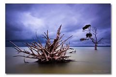 Spikes (Matthew Stewart | Photographer) Tags: sky storm tree water australia stormy brisbane qld queensland deadtrees photos1 oceansea