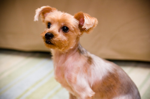 Pictures Of Yorkies With Short Hair. yorkie haircut