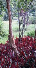 gelam tree
