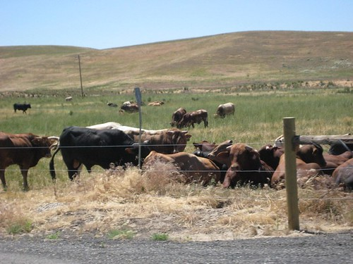 WASHINGTON Cattle