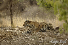 Stalking Bengal tiger 2 (dickysingh) Tags: wild india nature outdoor wildlife tiger aditya ranthambore singh ranthambhore dicky tigerreserve ranthambhorebagh stalkingbengaltiger adityasingh dickysingh ranthamborebagh theranthambhorebagh