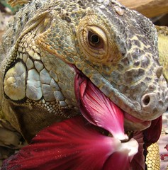 Summer delight (EcoSnake) Tags: eating wildlife bert lizard hibiscus iguana diet reptiles guatamala iguanaiguana greeniguana ar1 mywinners anawesomeshot