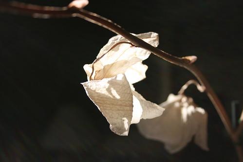 dying petals