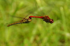 Inseparable (tonninods) Tags: male female insect dragonfly pair flight together warsaw mating courtship sonyalpha mywinners anawesomeshot