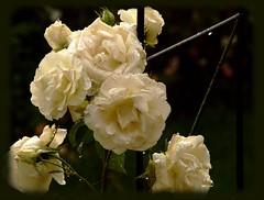 They never got a chance (Kirsten M Lentoft) Tags: white flower rain rose garden momse2600 kirstenmlentoft
