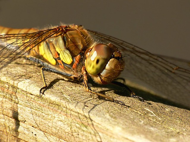 Common darter - Sympetrum striolatum, Dragonfly