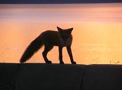 La volpe è uno dei principali serbatoi della malattia. Le attuali conoscenze scientifiche permettono di sfatare credenze ormai superate e inutili allarmismi.