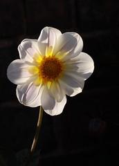 White Dahlia (Ed Melia) Tags: dahlia light petals gmt whitedahlia southknightongarden