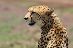 Cheetah portrait ('Carmen' {catching up!}) Tags: africa wild portrait closeup cat fur dof kenya bokeh fast depthoffield whiskers safari spots cheetah hunter predator wildcat bornfree masaimara gamedrive largecat builtforspeed