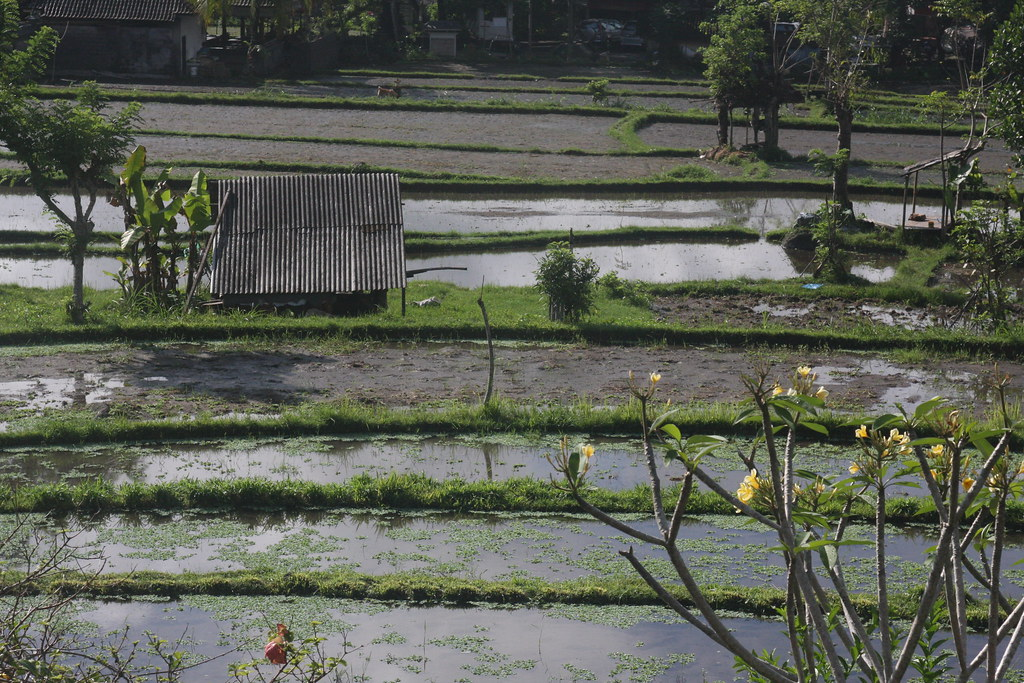 Rice fields near Amlapura, Bali