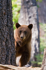 Searching (copeg) Tags: california bear park black forest high woods wildlife nevada pass sierra national yosemite tuolumne ursa tioga highway120 americanus blueribbonwinner flickrsbest specanimal diamondclassphotographer