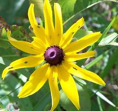Black-eyed Susan - 11 (Andre Reno Sanborn) Tags: vermont barton blackeyedsusan rudbeckiahirta
