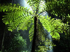 Springbrook National Park, Australia (henriette_von_ratzeberg) Tags: topv111 waterfall nationalpark rainforest australia cascade treefern purlingbrookfalls goldcoasthinterland springbrooknationalpark onlyyourbestshots treesubject wowiekazowie fotoguia bestofaustralia 080808 australianrainforestplants