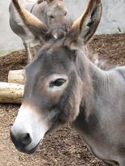 Belfast Zoo (Therese's universe) Tags: zoo donkey esel belfastzoo