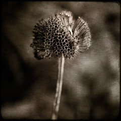 Tarnished (borealnz) Tags: autumn texture bravo seedhead toned monardadidyma bergamot layered magicdonkey flickrsbest artlibre aplusphoto infinestyle lightstylus thegoldenmermaid borealnz