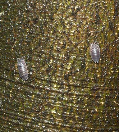 isopodsontree