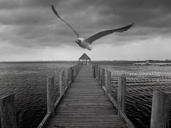 ideogram (zachstern) Tags: wallpaper bw usa ir pier vanishingpoint seagull maryland infrared infravermelho ideogram r72 infrarot  infrarrojos   infrapuna infrarood infrarouge infrarossi  impressedbeauty aplusphoto f717ir  fiveflickrfavs inframerah   infravrs infraerven