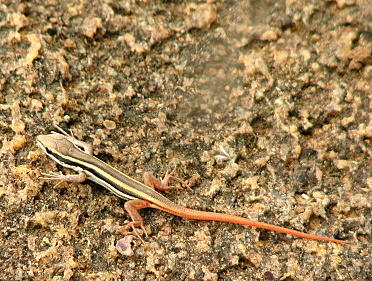 baby rock agama