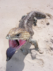 welcome to the spot (2r0xf0x deLuXe) Tags: macro tongue mouth display native lizard scales scarey openmouth westernaustralia bluff shingleback skink tworocks scaley bluffing thespot protectedspecies insidemouth nativefauna shinglebackskink