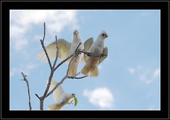 Little Corellas (Barbara J H) Tags: nature birds fauna wildlife parrot australia qld australianbirds australianwildlife corella maroochydore littlecorella cacatuasanguinea birdsofaustralia australianfauna canoneos30d animaladdiction birdphotos mywinners barbarajh faunaofaustralia willdifeofaustralia