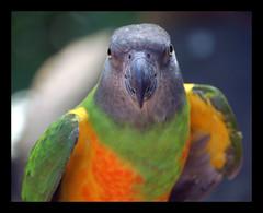 Senegal Parrot - by digitalART2