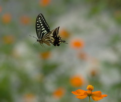 Asian Swallowtail in flight (kaycatt*) Tags: butterfly d70s butterflies bugs blueribbonwinner tamron90 papilioxuthus supershot abigfave asianswallowtail diamondclassphotographer naturewatcher