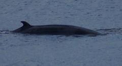 DSC02113 Minke whale BSM