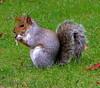 Munching Squirrel (Fatima2t) Tags: england animal canon manchester squirrel daltonellis artphoto 2t g9 abigfave kuwaitphoto kuwaitartphoto kuwaitart happinessconservancy