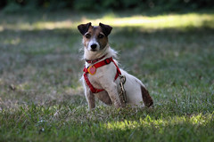 048a (sc photo1) Tags: dog canon jack is russell terrier lexi 40d 55250