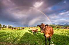 It'll Make The Grass Grow (Mark Solly (F-StopNinja)) Tags: sky cloud storm field grass rain cow milk rainbow herd bovine padock