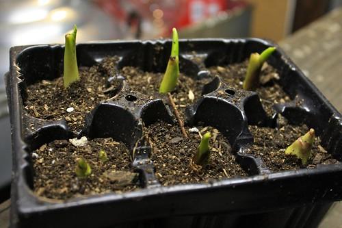 Taro Planted